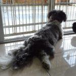shih tzu wants to go outside