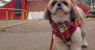 shih tzu dog walking
