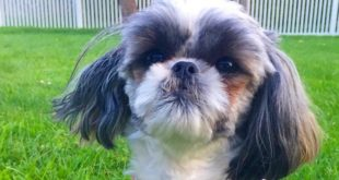 shih tzu summer time