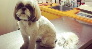 shih tzu hair cut