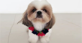 shih tzu face groom