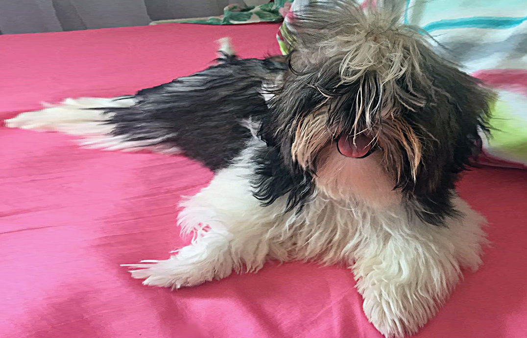How To Get Your Shih Tzu De Matted Shih Tzu Cute