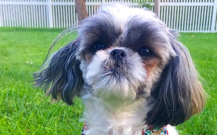 shih tzu coughing how to protect your shih tzu from the summer heat shih 1045