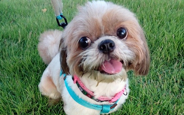 Leash Training Your Shih Tzu Tips You Need To Know Shih