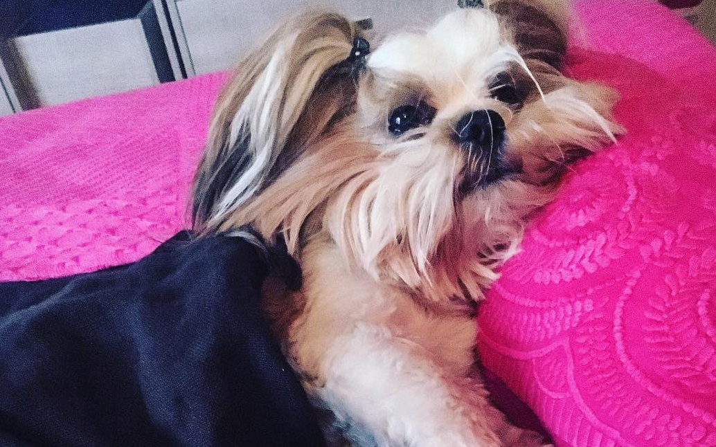 Image result for Shih Tzu dog crying like a baby