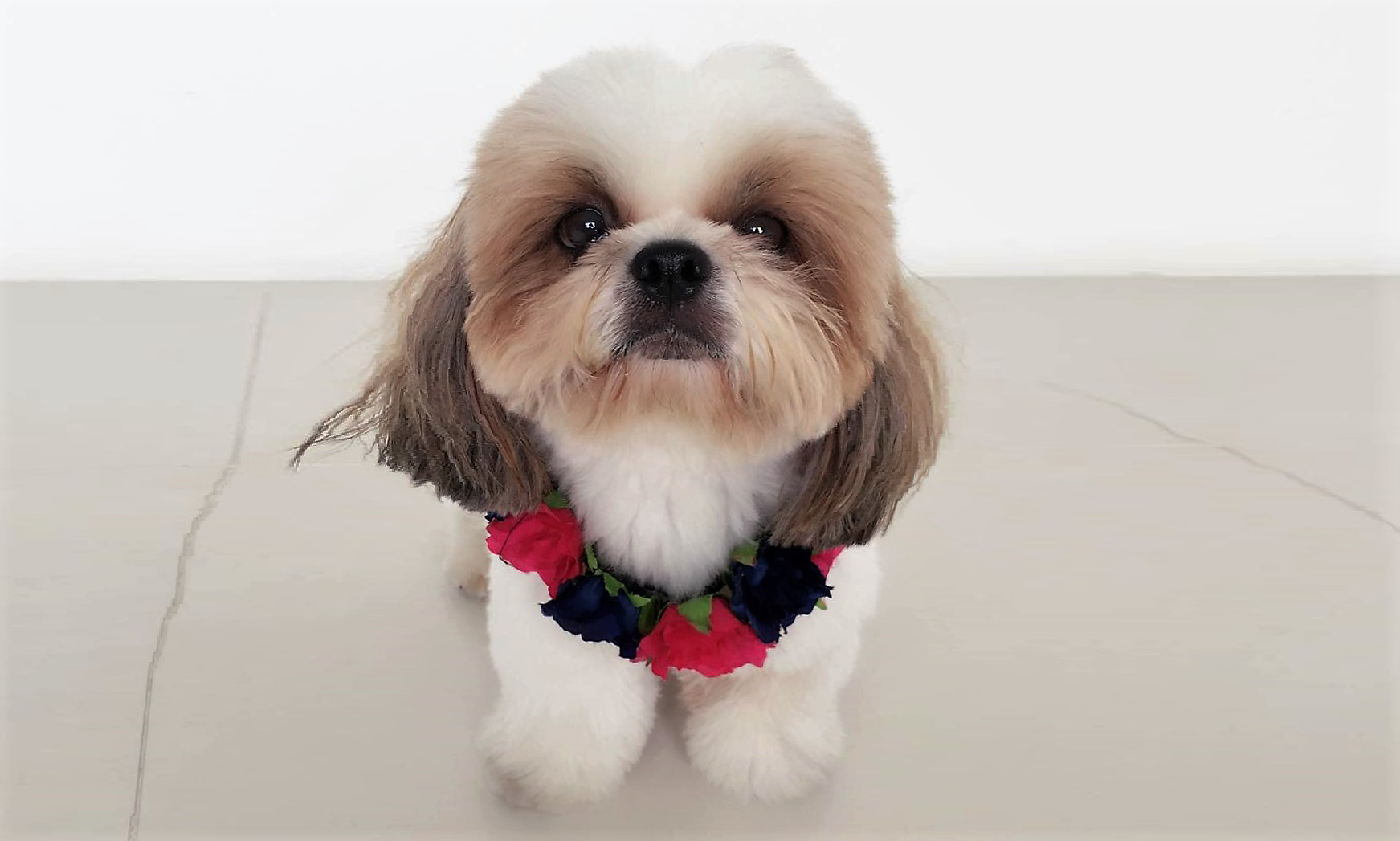 Tricks On How To Groom Your Shih Tzus Face Shih Tzu Cute